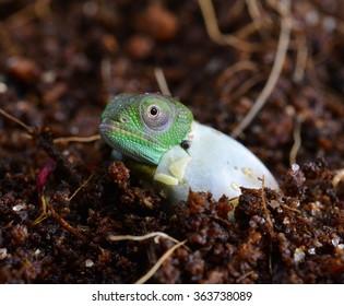 Petters Chameleon - Furcifer Petteri - Baby Hatching