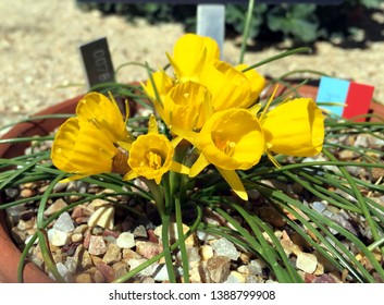 Petticoat daffodil (Narcissus Bulbocodium) blooming in mid spring in Madrid, Spain.