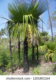 Petticoat palm (Copernicia macroglossa) with ripening fruits in natural habitat in Cuba