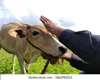 Petting and Feeding the Cow
