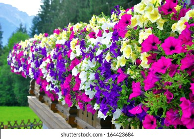 a lot of Petunia in Alps