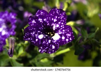 "Petunia × atkinsiana ""Starry night"" closeup in the ornamental garden"