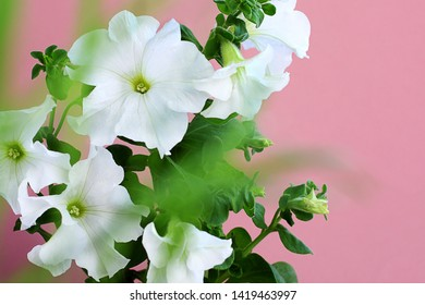 Petunia Axillaris flowers are also known as large white petunia on a pink background, wild white petunia and petunia white moon