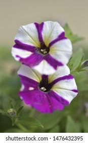 Petunia axillaris (Lam.), Large white petunia , Garden petunia , White moon petunia