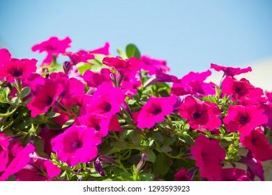 Petunia ,Petunia and blue background,Close Up of Petunia flower.