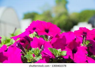 Petunia ,Petunia and blurred background, Close up of petunia flower.