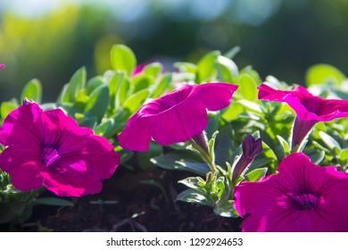 Petunia ,Petunia and blurred background,Close Up of Petunia flower.