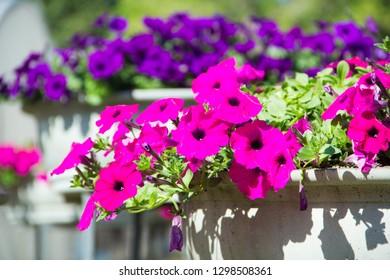 Petunia ,Petunia and blurred background,Petunia in the pot,Close Up of Petunia flower.