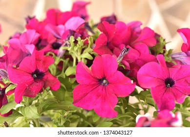Petunia, colorful petunia flower. Floral pattern. Spring and summer flowers petunia background texture.
