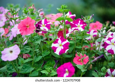 Petunia, Colorful Petunias Flower Nature Image Background