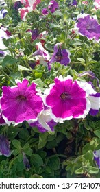 Petunia crazytunia plant with pink and white coloured flowers. Decorative plant