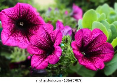 Petunia Deep Purple. Superpurtunia Petunia with purple veins deep purple bloom dark centre