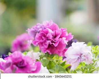 Petunia doble cascada rosa sobre fondo borroso con bokeh