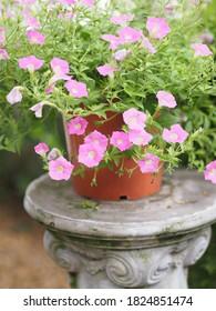 Petunia Flor rosa de ola fácil en el jardín bello sobre fondo de naturaleza borrosa