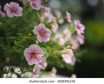 Petunia Flor rosa de ola fácil florecer en el jardín sobre fondo de naturaleza borrosa