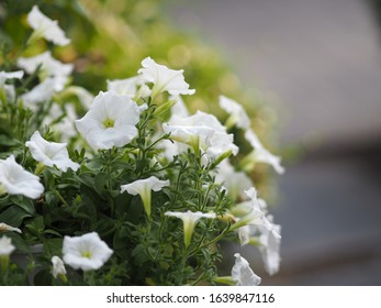 Petunia Easy wave color white flower beautiful on blurred of nature background