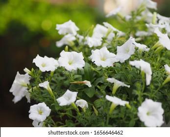 Petunia Flor blanca de ola fácil hermosa sobre fondo natural
