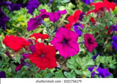 Petunia, Petunia Flower