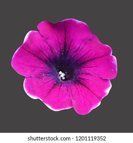 Petunia flower on an isolated background. Macro photo of flower petunia.