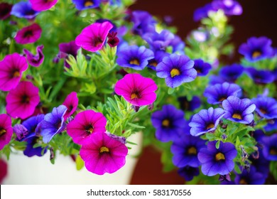 ?olorful petunia flowers