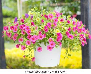 Las flores de Petunia son hermosas en la olla.