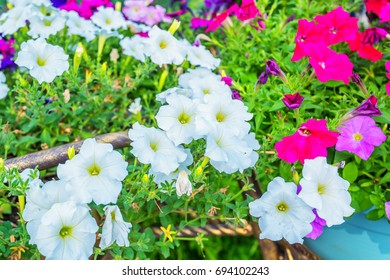 Petunia flowers bloom in the garden