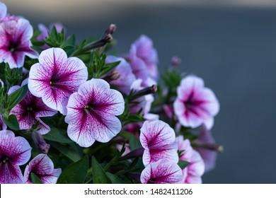 petunia flowers in the garden. Best petunias to grow , petunia happy tree friends