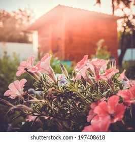 Petunia flowers in the garden with countryside cottage. Toned picture
