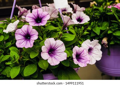 Petunia flowers in a hanging outdoors  pot