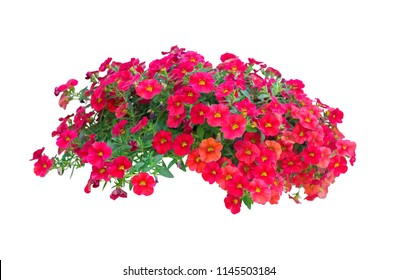 petunia flowers isolated on white background with clipping path included