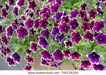 Petunia flowers mix purple white pink stock photo edit now petunia flowers mix purple white and pink hanging on the pot mightylinksfo