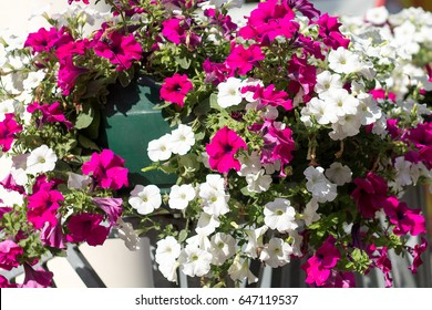 Petunia flowers pink white violet in a pot on the street