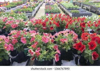 Petunia flowers in pots inside greenhouse. Spring garden series, Mallorca, Spain.