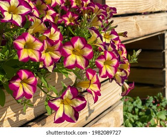 Petunia flowers Surfina Star Burgundy is impressive variety that produces beautiful burgundy and cream coloured petals.  Petunia stunning blooms. Scenic flowering plant in wooden box.