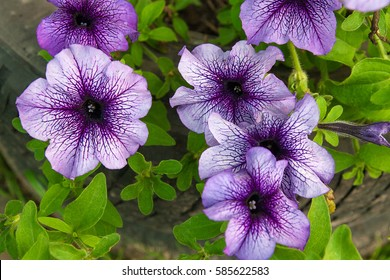 Petunia is genus of many species of flowering plants South American origin, closely related to tobacco, cape gooseberries, tomatoes, deadly nightshades, potatoes and chili peppers
