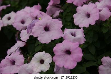 cierre de flor híbrida petunia