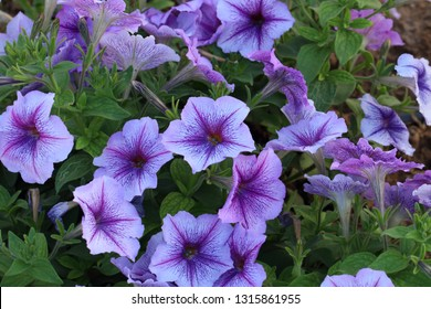Petunia hybrid purple flowers,Flowerbed with petunias,Petunia hybrida flowers, flowers in the garden in Spring time. Shallow depth of field, Macro shot of beautiful colorful petunia