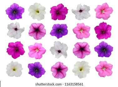 Petunia hybrida flower isolated on white background