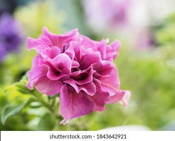 Petunia hybrida, Grandiflora de doble cascada rosa cerca de fondo borroso de bokek , macro