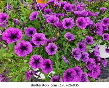 Petunia hybrida or Petunia is native to South America. The flowers are funnel-shaped. There are either single flowers or double flowers with a variety of beautiful colors.
