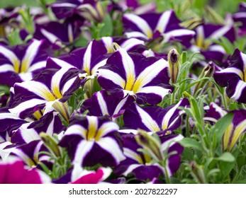 Petunia hybrida 'Estrella morada de Starlet' o petunia de sendero de estrella morada. Pétalos de flores violetas con rayas blancas. Flores inusuales, impresionantes y espectaculares.