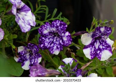 El Cielo Nocturno de Petunia es una planta anual de verano. Violeta oscura con tinte blanco que recuerda a la galaxia.