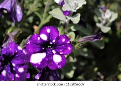 petunia night sky flowers