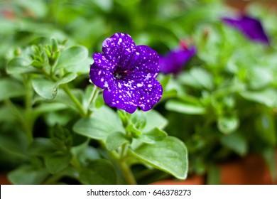 "Petunia ""Night Sky"" in the garden"