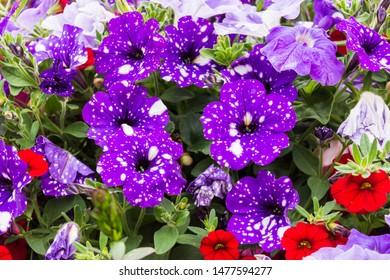 Petunia Night Sky, purple spotted flowers in a display of mixed petunias Petunia × hybrida