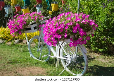 Petunia ,Petunias in pots on a white bike,Petunia in the pot,Petunia flowers on old bikes in the garden.