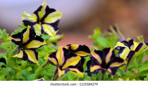 Petunia Phantom is a half hardy Petunia with striped black and  yellow flowers, green leaves, and mound forming habit perfect for a hanging basket.