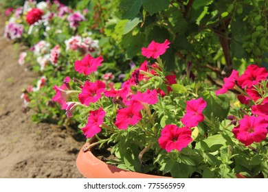Petunia is pink. Summer flowers in the flowerbed. Petunia planted in a line.