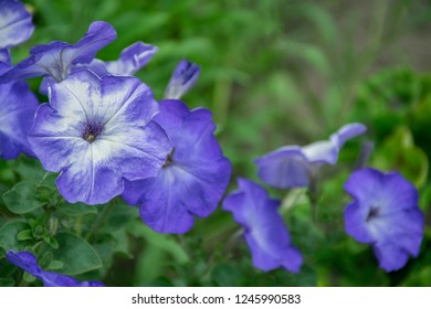 Petunia plant with blue flowers in the garden in spring time. Macro images. Blurred floral, spring time nature background. Image full of colourful petunia (Petunia hybrida) flowers in hanging pots.