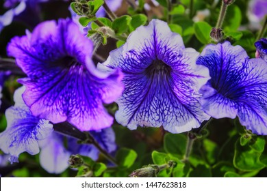 Petunia plant with lilac flowers. Closeup Petunia flowers. Purple Petunia flowers , purple petunia flowers in the garden.
